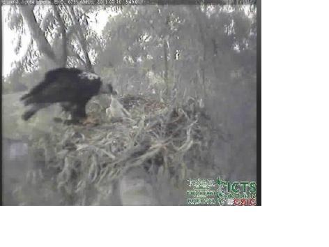 A esta hora de la tarde, 19:53, se puede observar al Águila Imperial alimentando a su polluelo en Soto Grande (Doñana).