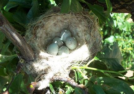 Ya sé que algun visitante de la web me dirá que se debe dejar tranquilos a los pájaros mientras están criando pero la experiencia me permite afirmar que haciéndolo con cuidado y sin tocar el nido, en el caso de los jilgueros no pasa nada. Joaquín