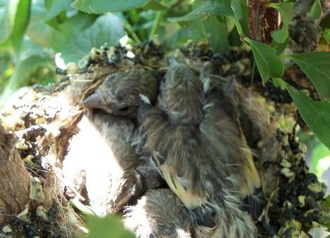 Los cuatro pajarillos nacidos están creciendo muy deprisa, ocupan ya la totalidad del nido y han desarrollado instintivamente nuevos hábitos para no llamar la atención de posibles predadores.  Joaquín