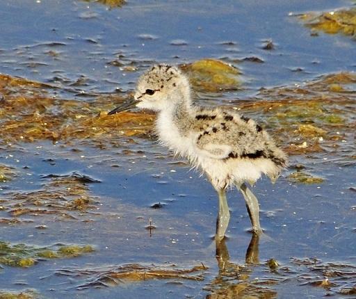 """Esta mañana he estado en la laguna de Pétrola (Albacete). Aunque ya se veían semanas atrás pollitos de distintas especies, el """"baby boom"""" ha tenido lugar en los últimos días.  Rafa Torralba"""
