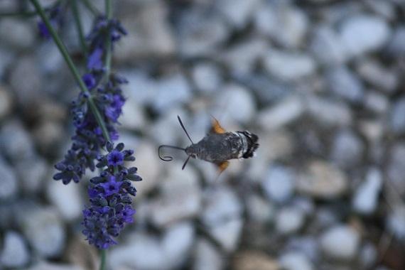 Esta mañana, de pura casualidad y sobre las lavandas, he visto por vez primera a esta esfinge colibrí (Macroglossum stellatarum L.)