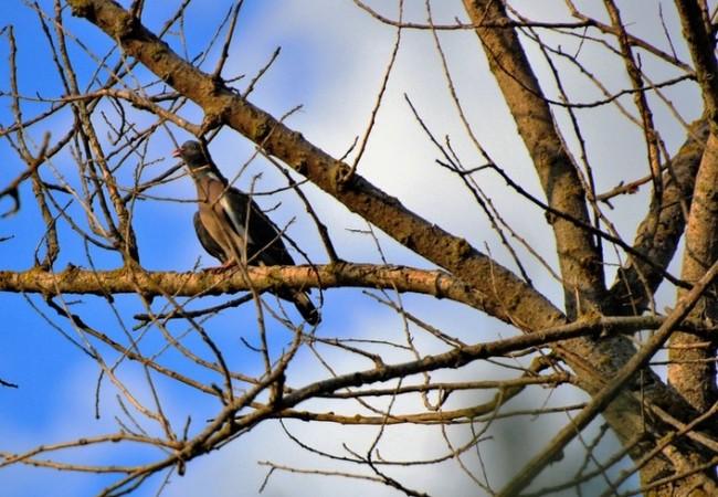 Las águilas calzadas e incluso los milanos del soto, las acechan desde el cielo dando vueltas, hasta que levantan el vuelo.  Towsillo