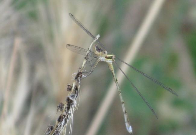 Fotografié esta libélula de abdomen finísimo y elegantes alas.  Pilar López