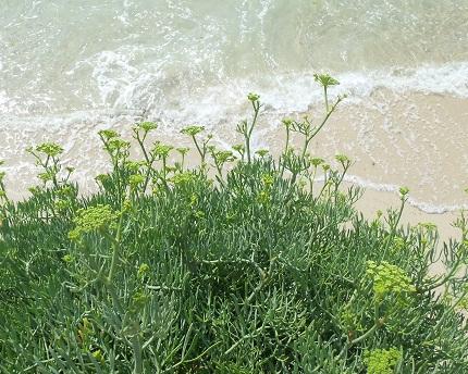 Se trata de una planta que crece en condiciones muy difíciles, en las que ninguna otra especie pueda hacerle competencia. Se desarrolla perfectamente en la primera línea de las costas azotadas por vientos cargados de sal.  Joaquín