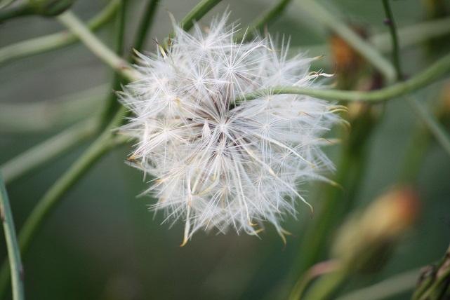 Diente de León, Taraxacum dens-leonis, ayer por la tarde, a punto de deshacerse en semillas.      Mónica Fernández-Aceytuno Sigue aceytuno.com en FACEBOOK