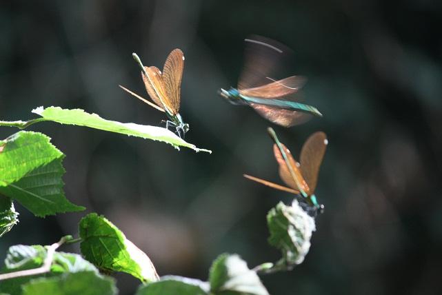 Sobre las hojas de un abedul y un rayo de sol, iban y venían ayer sobre el río estas hembras de Calopteryx splendens.  Mónica Fernández-Aceytuno