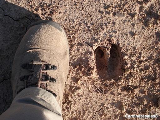 Cuando caminábamos por el Collado de Villacampa, bajo el Gorgo (Sierra Calderona), en la Comarca del Alto Palancia, vimos huellas de jabalí…  Juan José Carrasco Lozano