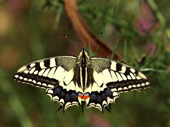Hay un mirador sobre la ría del Eo y una plantación de eucaliptos. En ese bosque fue donde encontré a esta mariposa, una de las más llamativas.  Zaquiel Sánchez