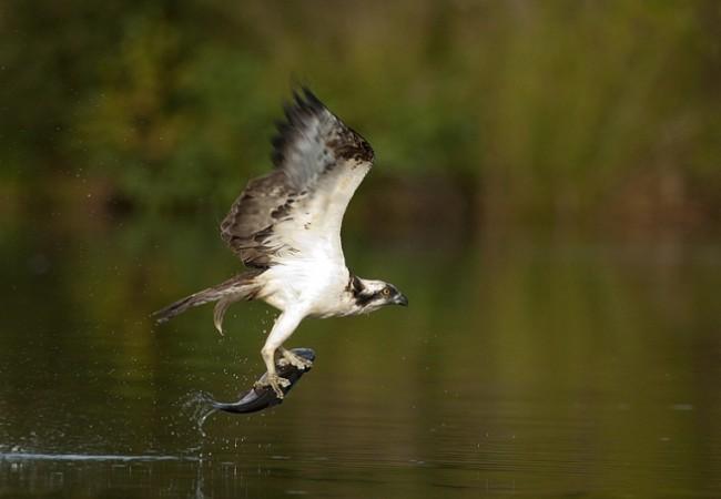 Águila pescadora, por Javier Valladares