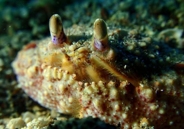 Ahí tenemos al cangrejo de Pinzas Anchas conocido en latín Cryptosoma cristatum. Este es un individuo que cuando se siente amenazado se entierra dejando solo ver sus preciosos ojos.  Cristo