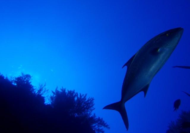 Si con la linterna iluminas de lejos a los bancos, haciendo un barrido rapido, como un destello, automaticamente decenas de peces se pegan al fondo.  Cristóbal Richart