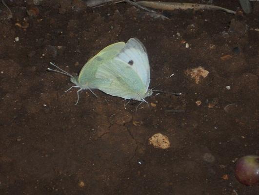 El pasado 29 de octubre fotografié una pareja de mariposas de la col copulando debajo de un olivo, arbequino por más señas.  Joaquín