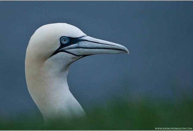 La primera ave marina que suele aparecer petroleada tras un vertido, es el alcatraz, con sus ojos azules.   Mónica Fernández-Aceytuno FOTO: Raymond Barlow