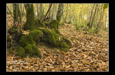Las lluvias de este mes de Noviembre, ya están surtiendo su efecto en el paisaje, así en los castañares de la Baja Extremadura, ya disfrutamos de esos colores y olores.  Juan Carlos Delgado Expósito