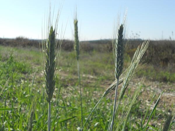 Las ricias de los cereales de invierno saben que son extemporáneas y que su vida va a ser muy efímera pero se dan mucha prisa en terminar su ciclo vegetativo.  Joaquín