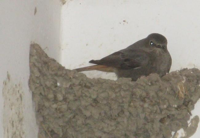 Hembra de Colirrojo Tizón durmiendo en un nido de golondrina bajo el porche de la casa.  Pilar