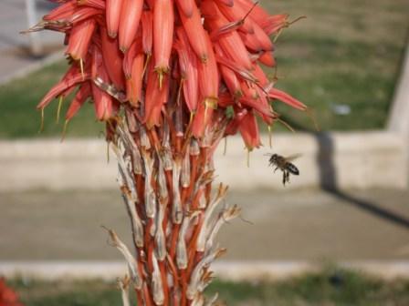Hay plantas de jardinería que tienen la virtud de comunicar algo al que las visita. Es lo que ocurre con los áloes arborescentes, como el de la fotografía.  José Manuel