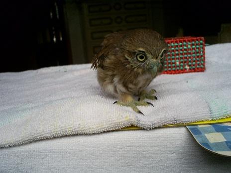 Lechuguita fue el primer pichón que rescatamos, fue criado por sus padres y lo robaron de su nido antes de poder salir de él.  China Coello