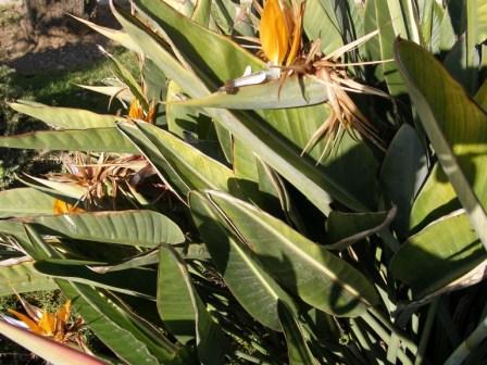 Stretlizia regina es el nombre botánico de esta flor espectacular, que proviene de Sudáfrica y que se llama así en honor de Carlota de Mecklemburgo-Strelitz.  José Manuel