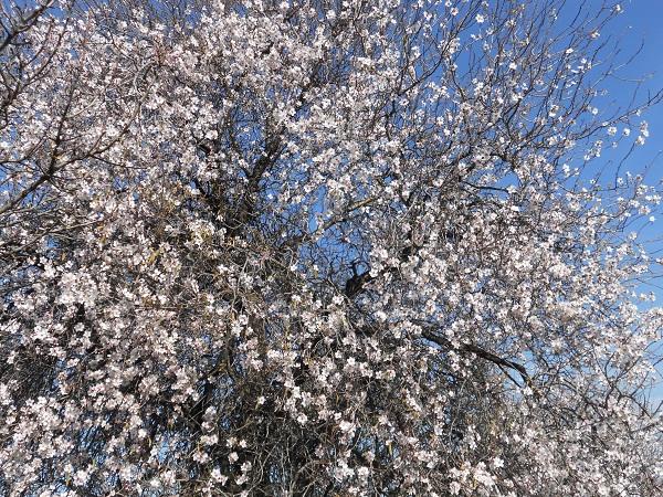 Con su puntualidad habitual está en plena floración el almendro más temprano de la linde del Fontanar.  Joaquín
