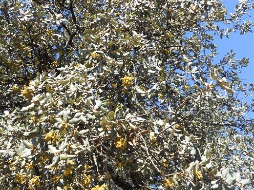 En mi recorrido del lunes por una dehesa de la Sierra Norte sevillana he fotografiado una encina que se ha adelantado a la primavera pese a que en las madrugadas estamos soportando temperaturas muy bajas.  Joaquín