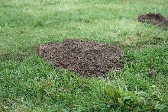La lluvia acaba de mojar los terrones que dejó el topo sobre la yerba.  Mónica Fernández-Aceytuno