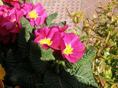 Me llevé una grata sorpresa la última vez que fui a la farmacia habitual de mi barrio, porque habían adornado la entrada con macetas de flores de un colorido atractivo.  José Manuel