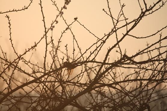 Me acabo de dar cuenta de que las alas del gorrión común, tan pardo, se transparentan al amanecer con el sol.  Mónica Fernández-Aceytuno