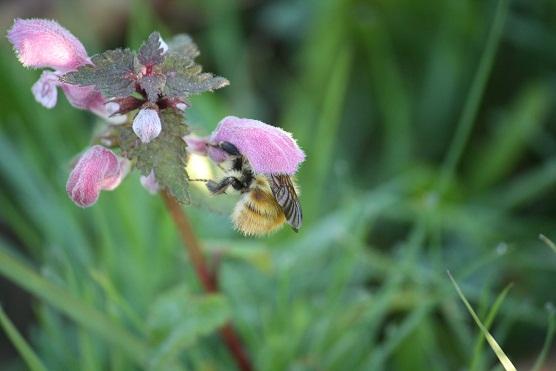 Este abejorro de bosque, Bombus silvarum, estaba anteayer pecoreando las flores rosas de las ortigas hediondas que hay en la valla de mi casa.  Mónica Fernández-Aceytuno