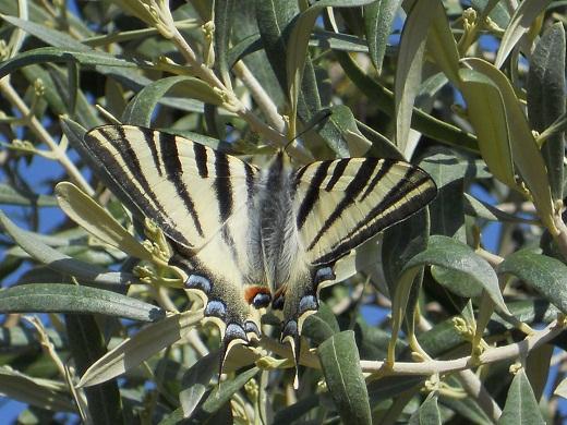 Está posada en un olivo gordal de la Fuente del Moro en el que ya se han diferenciado las yemas de fruta que dentro de pocas semanas serán ya pequeñas aceitunas.  Joaquín