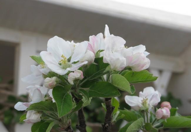Con las buenas temperaturas que estamos teniendo en los últimos días, ha florecido el ciruelo de mi terraza.  Pilar