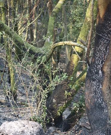 El incendio baja al suelo, como si agachara la cabeza, al llegar a la fraga.  Mónica Fernández-Aceytuno
