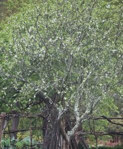 Manzano o camueso florecido / Aceytuno