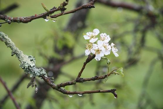 No sé qué tienen esos perales antiguos cubiertos de líquenes claros hacia cuyas flores se me van los ojos.  MF-A