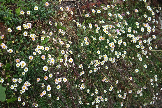Más aún que las constelaciones en el cielo me gustan esas flores del género Erigeron que salen sobre los muros.  MF-A