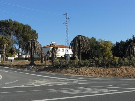 Podrás contar una docena de palmeras muertas, todas las que salen en la imagen, a excepción de la de la izquierda, una Washingtonia, género hasta ahora no atacado por el picudo.  Joaquín
