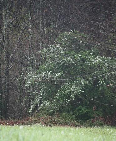 De lejos, sólo se aprecia la mancha blanca del arbusto como caído en el campo, desordenado y a la vez perfecto.  MF-A