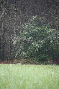 Espino blanco florecido bajo la lluvia / Aceytuno