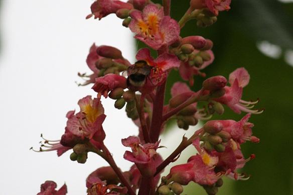 A pesar de la lluvia y del viento este abejorro estuvo ayer libando las flores de los castaños de Indias.  MF-A