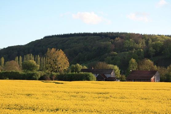 Normandía es hoy un mar de campos de crucíferas amarillas.  MF-A