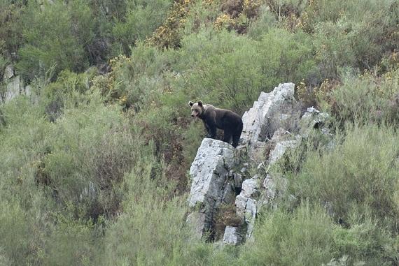 Oso pardo (Ursus arctos) en la Cordillera Cantábrica.  vuelvepiedras definición incorporada hoy al diccionario