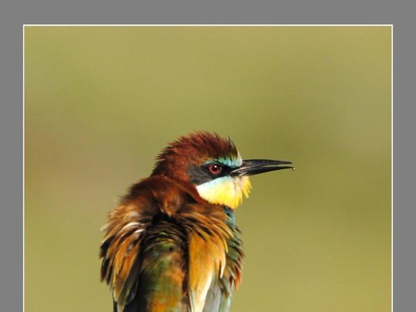 El pájaro de la foto, como se puede observar, presenta la punta del pico ligeramente astillada.  maguilla término incorporado hoy al diccionario