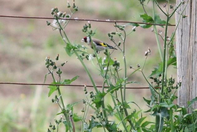 Jilguero comiendo las semillas volanderas de un senecio con la última luz. MF-A  jilguero término incorporado hoy al diccionario