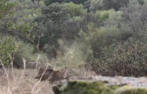 Jabalí (Sus scrofa) / Aceytuno