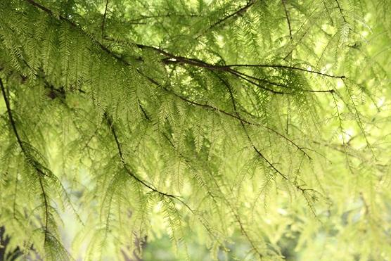No creo que haya ningún árbol que tenga más claridad entre las ramas que este ciprés calvo.  MF-A