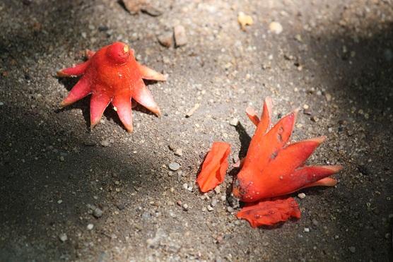 Parecen estrellas de mar las flores del granado caídas sobre la arena.  MF-A