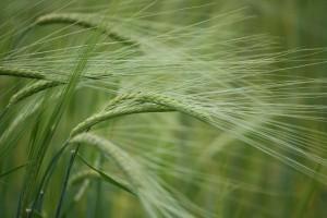 Espigas de la cebada (Hordeum sp.)el 22-6-2012 / Aceytuno