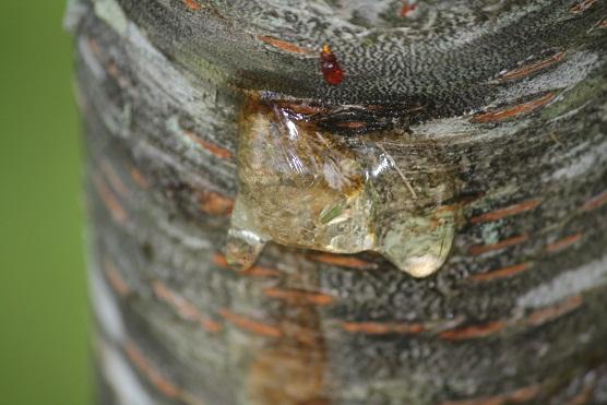 Cabría esperar que la sangre del cerezo, su savia, fuera roja. MF-A lista término incorporado hoy al diccionario de la Naturaleza