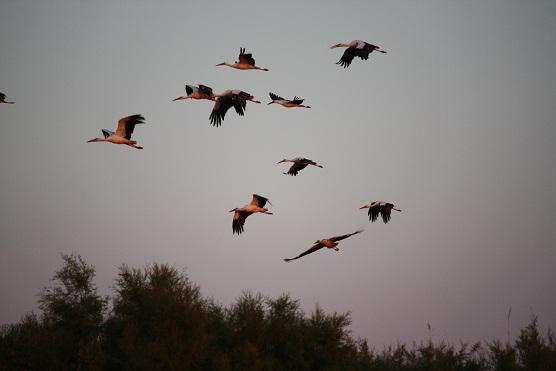 Las cigüeñas blancas al anochecer sobre los bosques de tarayes tienen el color de los flamencos.  MF-A