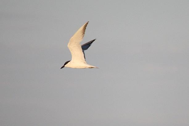 Gracias a Massimo Notarangelo he identificado a esta ave como Pagaza piconegra Sterna nilotica.  MF-A